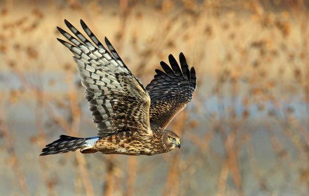 Birds of Prey: Hawk Watching Tips and Stories