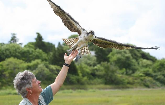 There and Back Again: Satellite Studies of Osprey Biology
