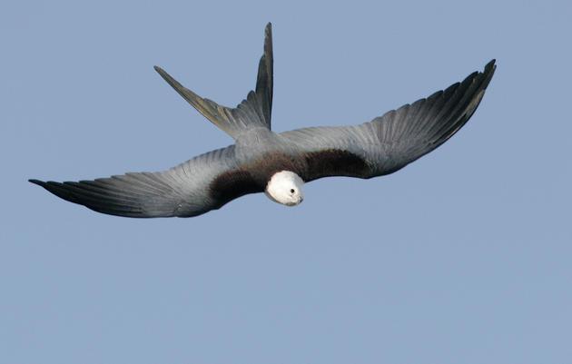 Raptors: The Diurnal Birds of Prey