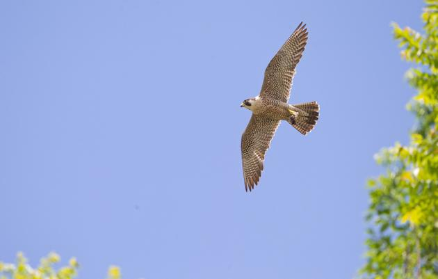Raptor Migration & Monhegan Island