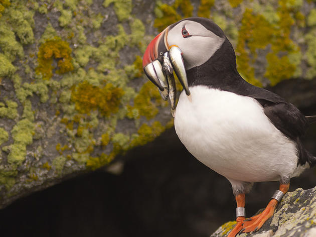 Why Some Puffin Colonies Thrived and One Barely Survived This Summer