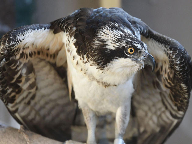 The Saga Continues for Bailey, the Beleaguered Hog Island Osprey