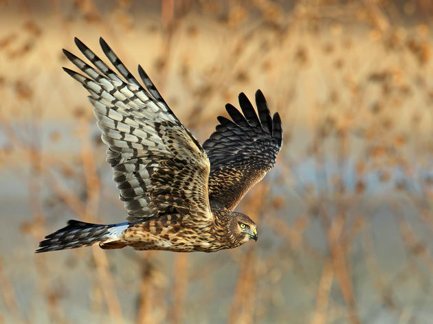 Birds of Prey: Hawk Watching Tips and Stories