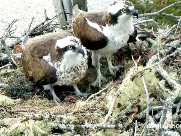 Hog Island Osprey Webcam