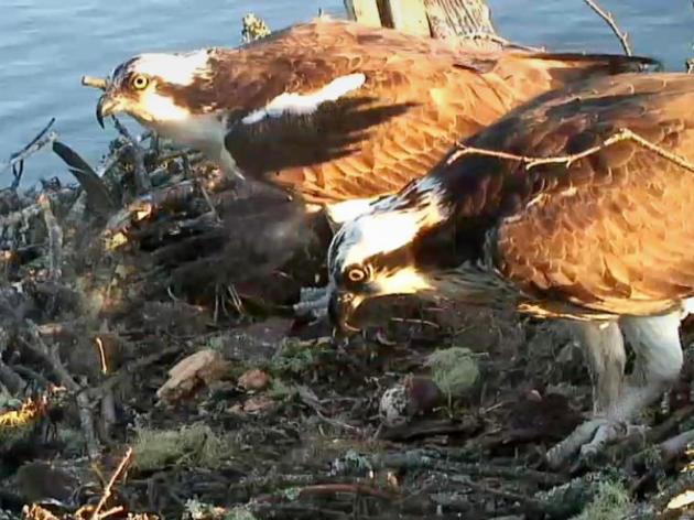 Rachel and Steve Left Chick-less After Eagle Raids Nest