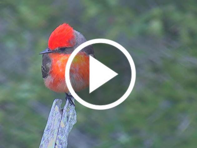 Maine's First Known Vermilion Flycatcher Captured Live on Hog Island Web Cam