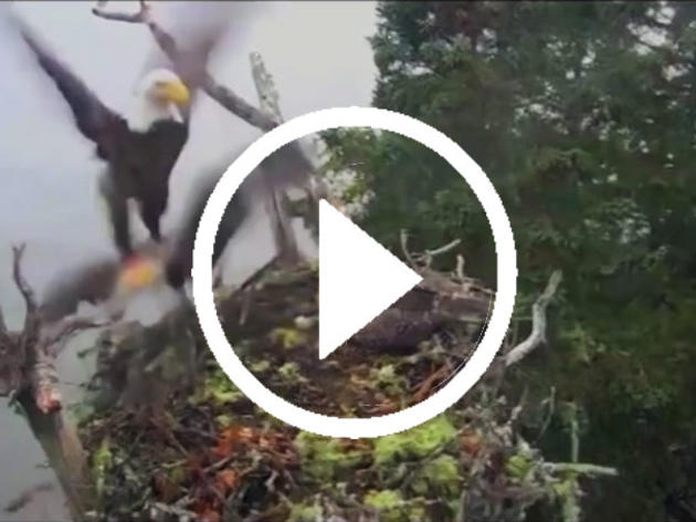 This Rare Video of a Bald Eagle Attacking an Osprey Nest Is an Incredible Display of Speed and Strength
